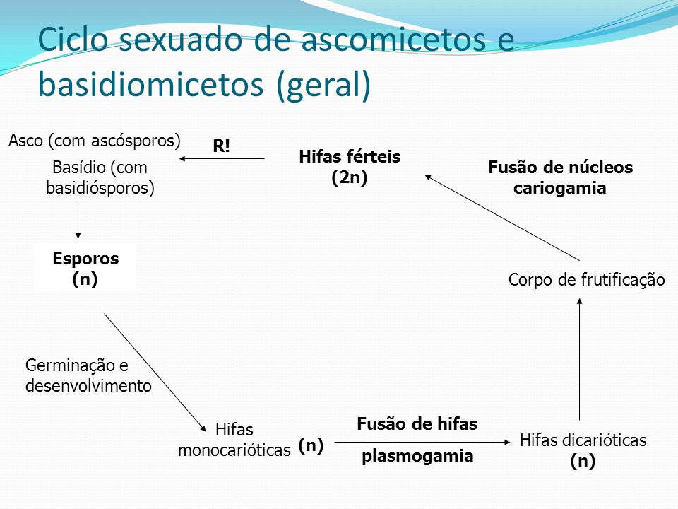 Ciclo sexuado de ascomicetos e basidiomicetos (geral) Esporos (n) Germinação e desenvolvimento Hifas monocarióticas (n) Fusão de hifas plasmogamia Hif