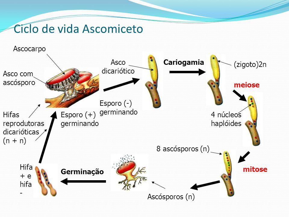 Ciclo de vida Ascomiceto Asco dicariótico Ascocarpo Asco com ascósporo Hifas reprodutoras dicarióticas (n + n) Cariogamia (zigoto)2n 4 núcleos haplóid