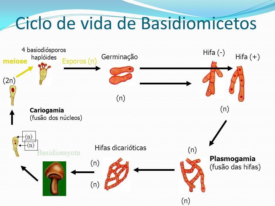 Ciclo de vida de Basidiomicetos 4 basiodiósporos haplóides (n) GerminaçãoHifa (+) Hifa (-) (n) Plasmogamia (fusão das hifas) (n) Hifas dicarióticas (n