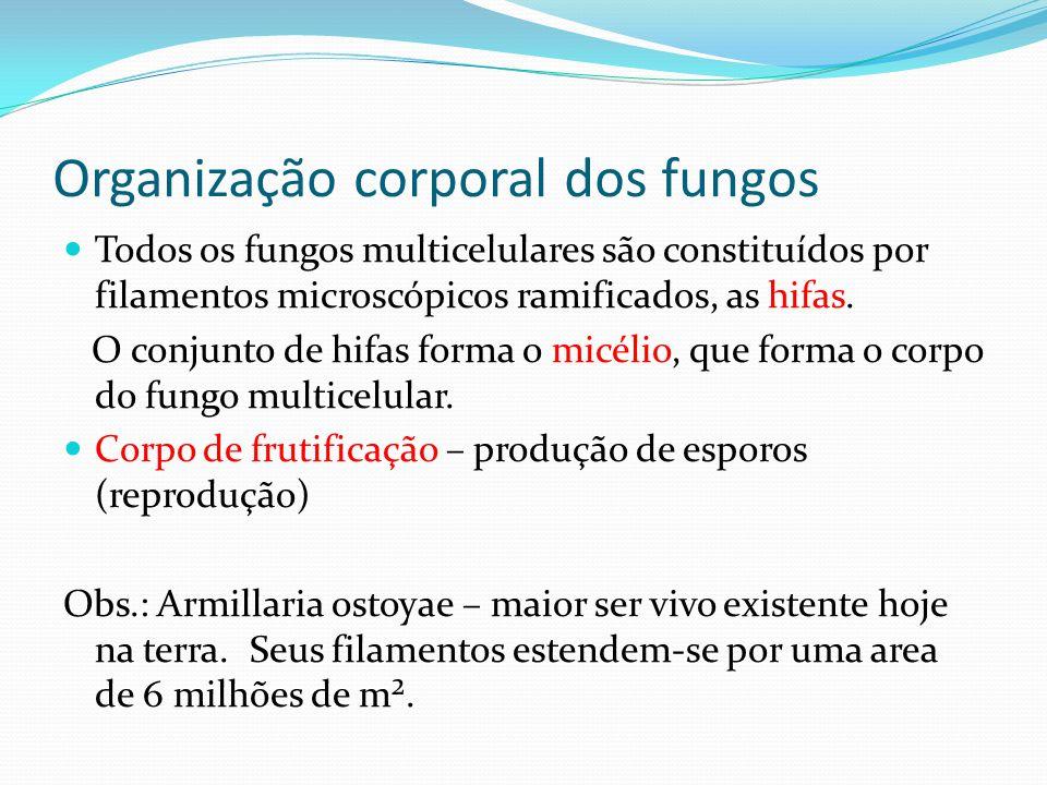 Organização corporal dos fungos Todos os fungos multicelulares são constituídos por filamentos microscópicos ramificados, as hifas. O conjunto de hifa
