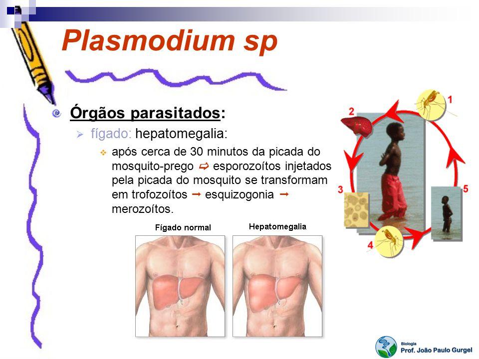 Plasmodium sp Órgãos parasitados: fígado: hepatomegalia: após cerca de 30 minutos da picada do mosquito-prego esporozoítos injetados pela picada do mo
