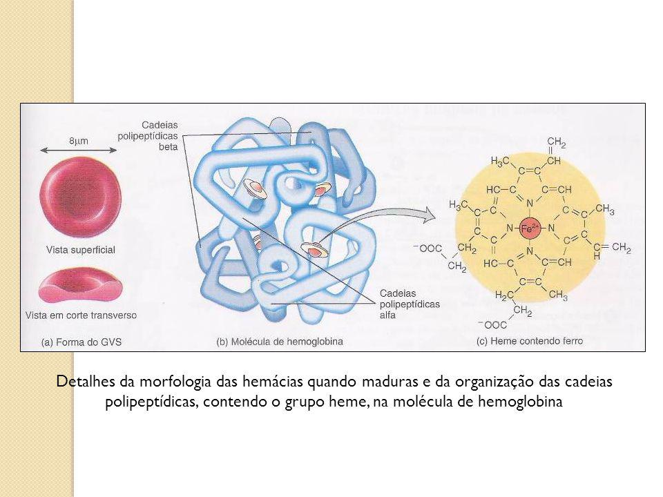 Detalhes da morfologia das hemácias quando maduras e da organização das cadeias polipeptídicas, contendo o grupo heme, na molécula de hemoglobina