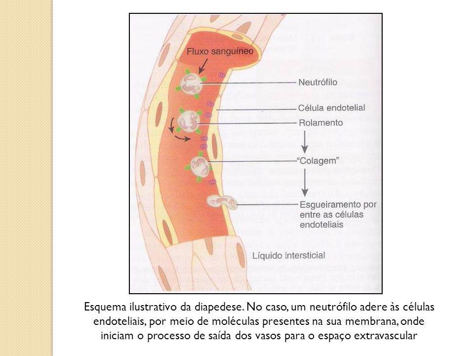 Granulócitos: são caracterizados pela presença de núcleo com formato irregular, estando presentes em seu citoplasma grânulos específicos, constituídos por uma grande diversidade de substâncias, essenciais à execução de suas funções (neutrófilos, basófilos e eosinófilos); Agranulócitos: são destituídos de grânulos em seu citoplasma, exibindo ainda núcleo com formato mais regular (linfócitos e monócitos); OBSERVAÇÃO.