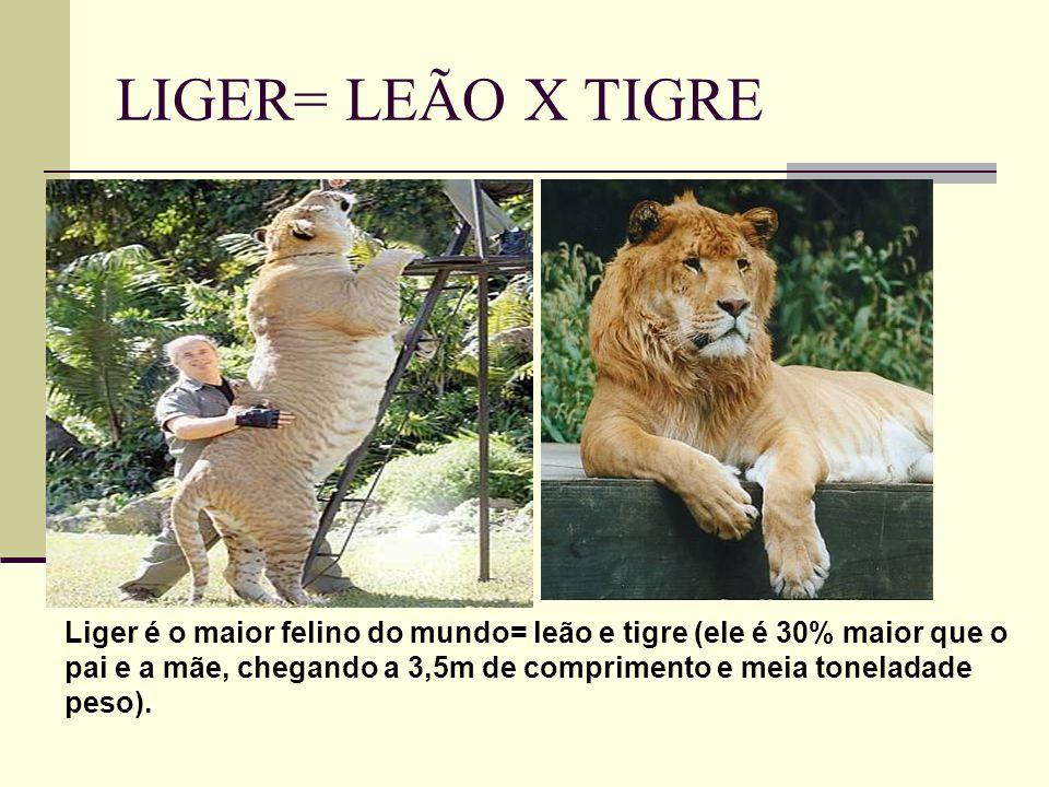 LIGER= LEÃO X TIGRE Liger é o maior felino do mundo= leão e tigre (ele é 30% maior que o pai e a mãe, chegando a 3,5m de comprimento e meia toneladade peso).
