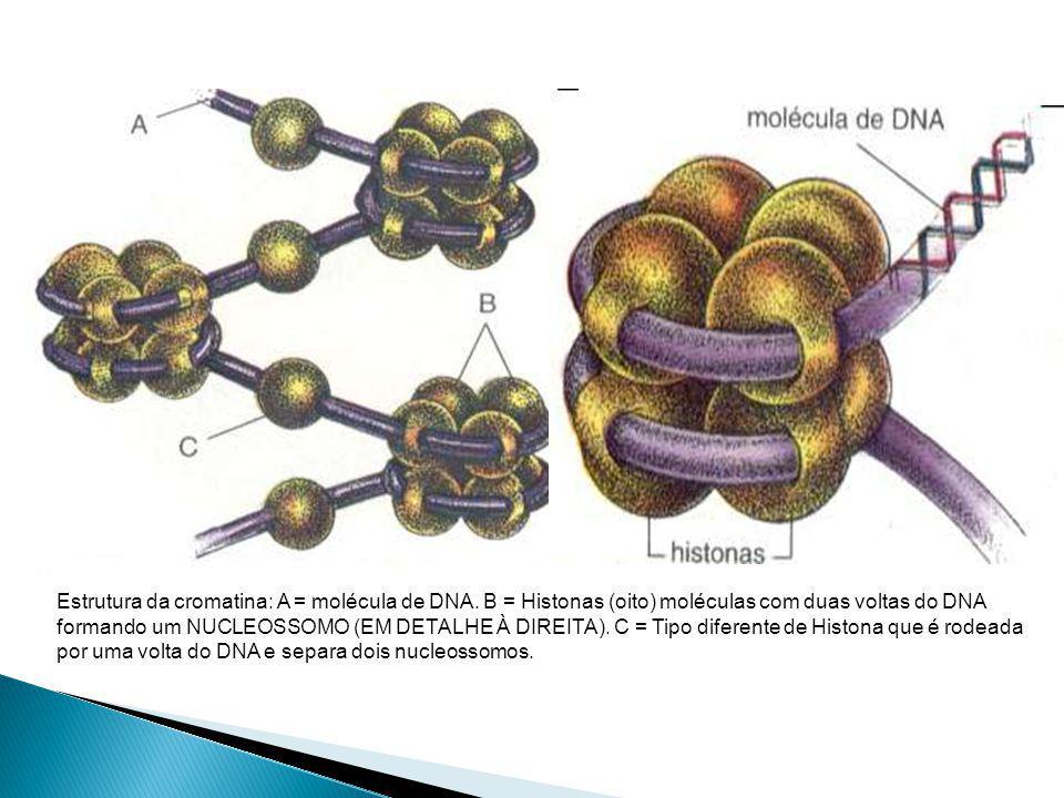 Estrutura da cromatina: A = molécula de DNA.