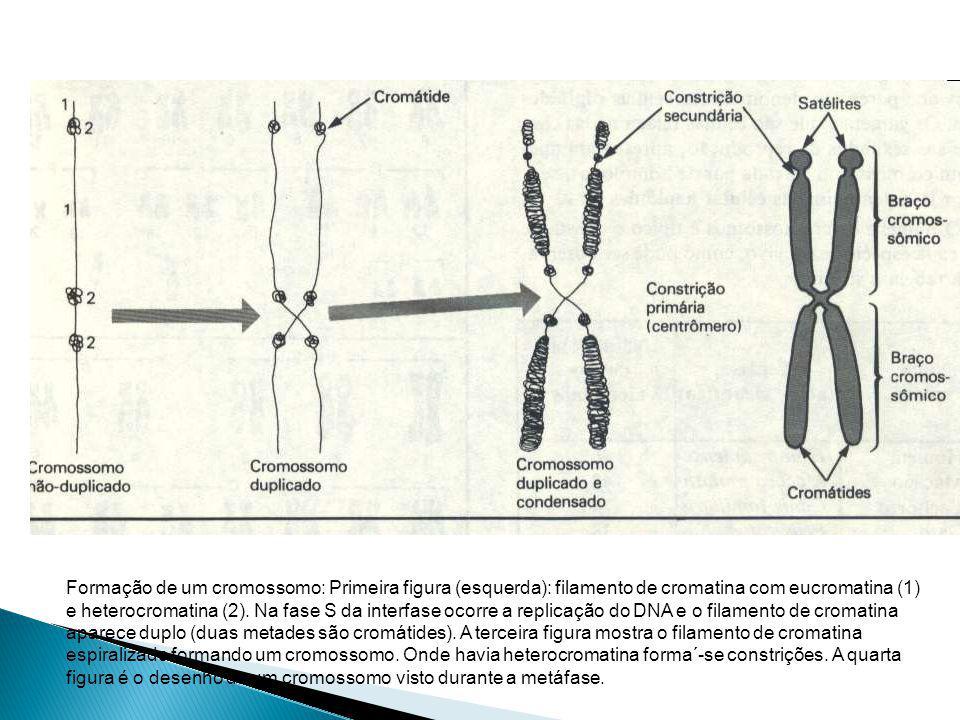 Formação de um cromossomo: Primeira figura (esquerda): filamento de cromatina com eucromatina (1) e heterocromatina (2).