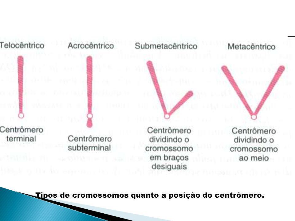 Tipos de cromossomos quanto a posição do centrômero.