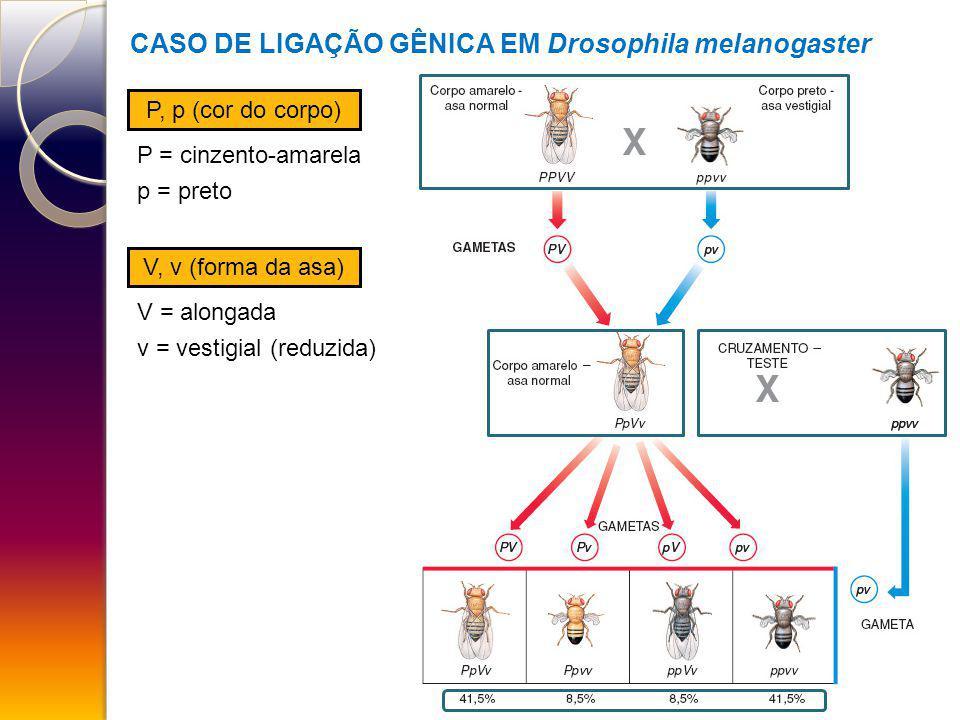 CASO DE LIGAÇÃO GÊNICA EM Drosophila melanogaster P, p (cor do corpo) V, v (forma da asa) P = cinzento-amarela p = preto V = alongada v = vestigial (r