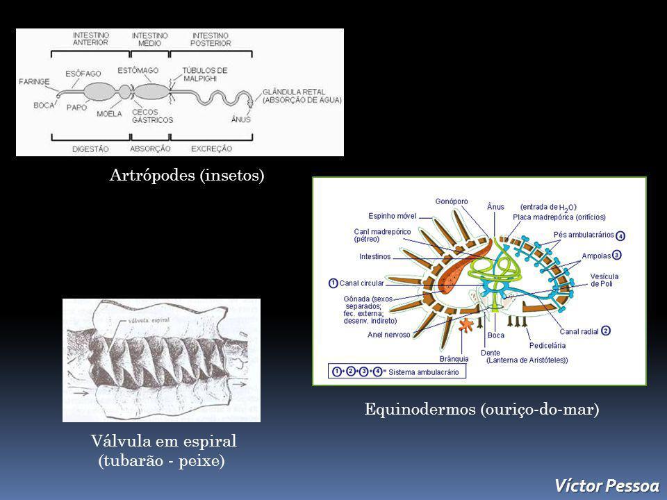 Artrópodes (insetos) Equinodermos (ouriço-do-mar) Válvula em espiral (tubarão - peixe) Víctor Pessoa
