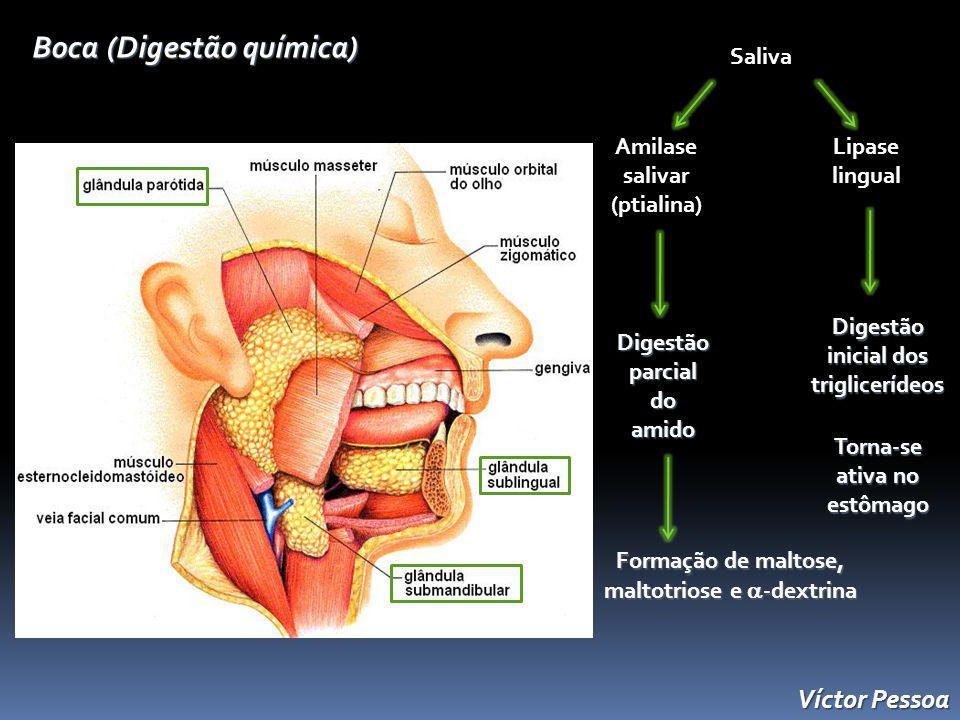 Boca (Digestão química) Saliva Amilase salivar (ptialina) Lipase lingual Digestão parcial do amido Formação de maltose, maltotriose e -dextrina Digestão inicial dos triglicerídeos Torna-se ativa no estômago