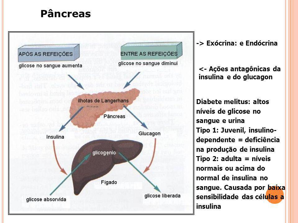 SUPRA-RENAIS: MEDULA E CÓRTEX Medula: adrenalina e noradrenalina => estresse, luta, fuga (lembrar do simpático): aumento da freqüência cardíaca, desvi