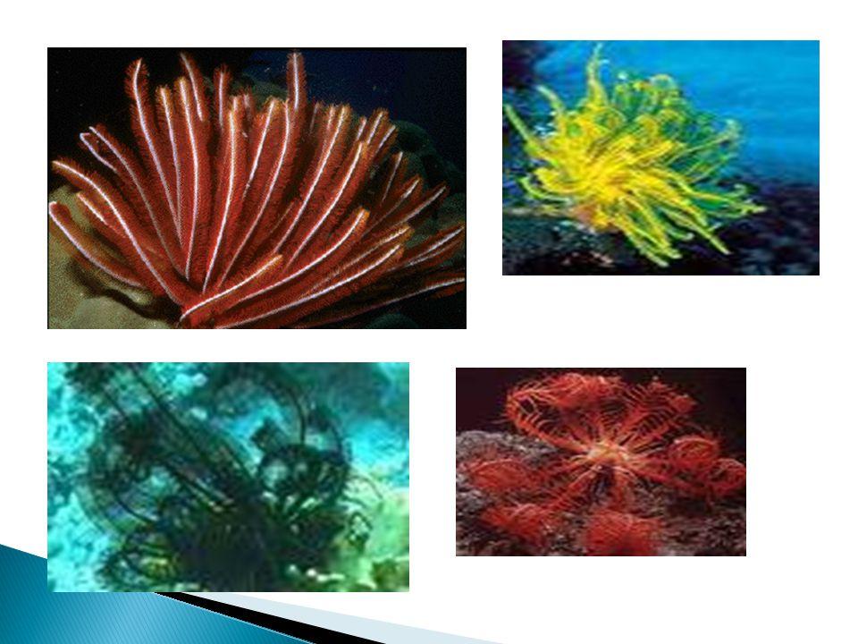 Lírio-do-mar; Lírio-do-mar; Alimentação: Por filtração; Alimentação: Por filtração; Vivem presos por ramificações; Vivem presos por ramificações; Algu