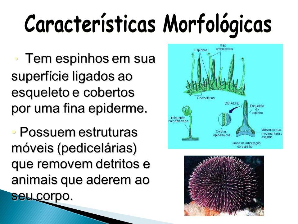 As larvas tem simetria bilateral, animais adultos tem simetria radial e são pentarradiais. As larvas tem simetria bilateral, animais adultos tem simet