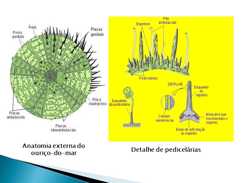 Tem espinhos em sua superfície ligados ao esqueleto e cobertos por uma fina epiderme. Tem espinhos em sua superfície ligados ao esqueleto e cobertos p