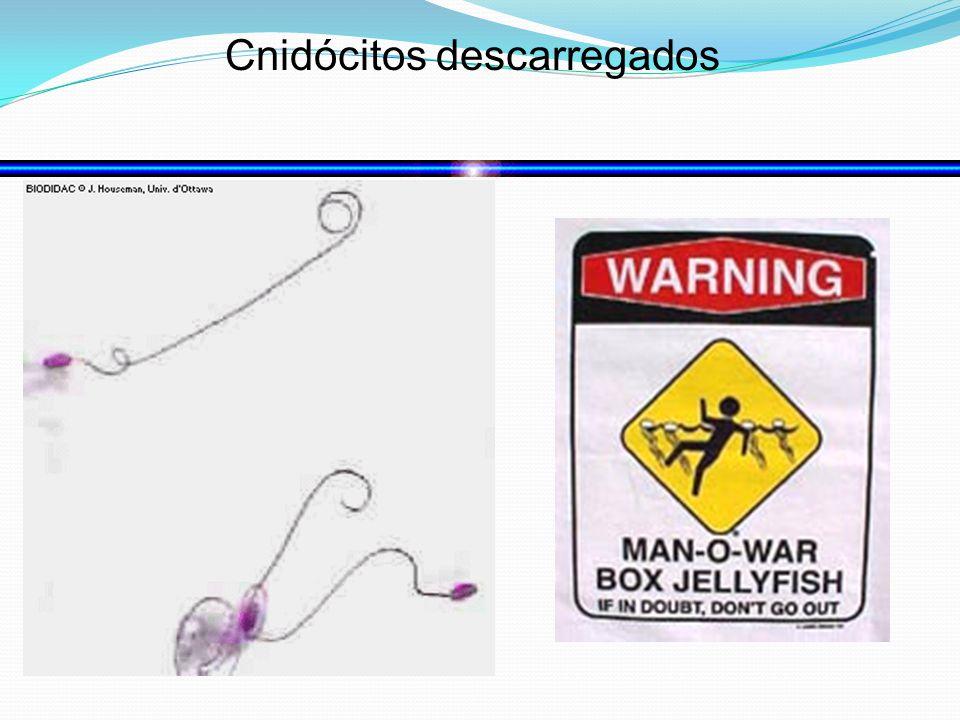 Cnidócitos descarregados