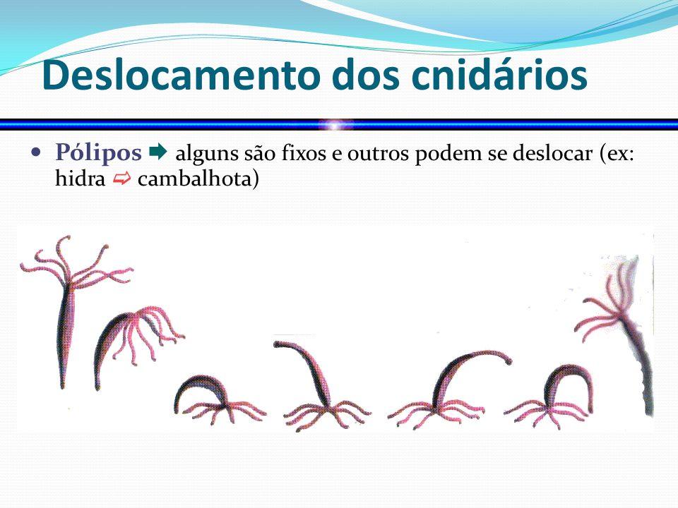 Deslocamento dos cnidários Pólipos alguns são fixos e outros podem se deslocar (ex: hidra cambalhota)