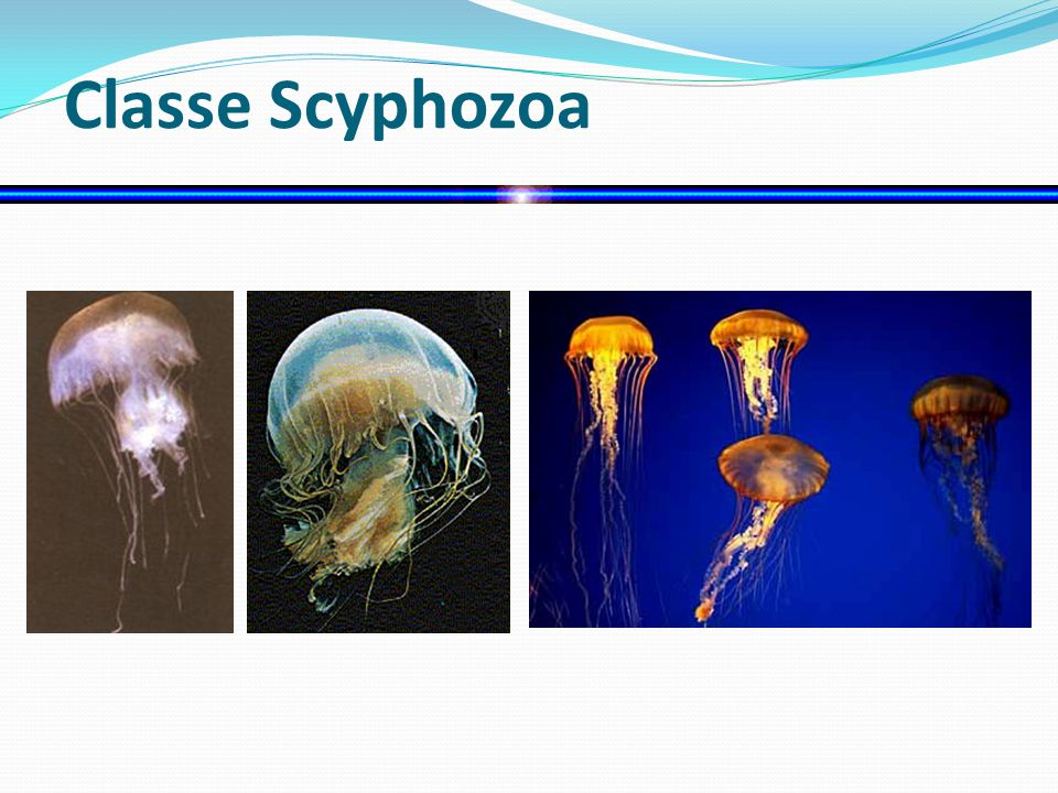 Classe Scyphozoa