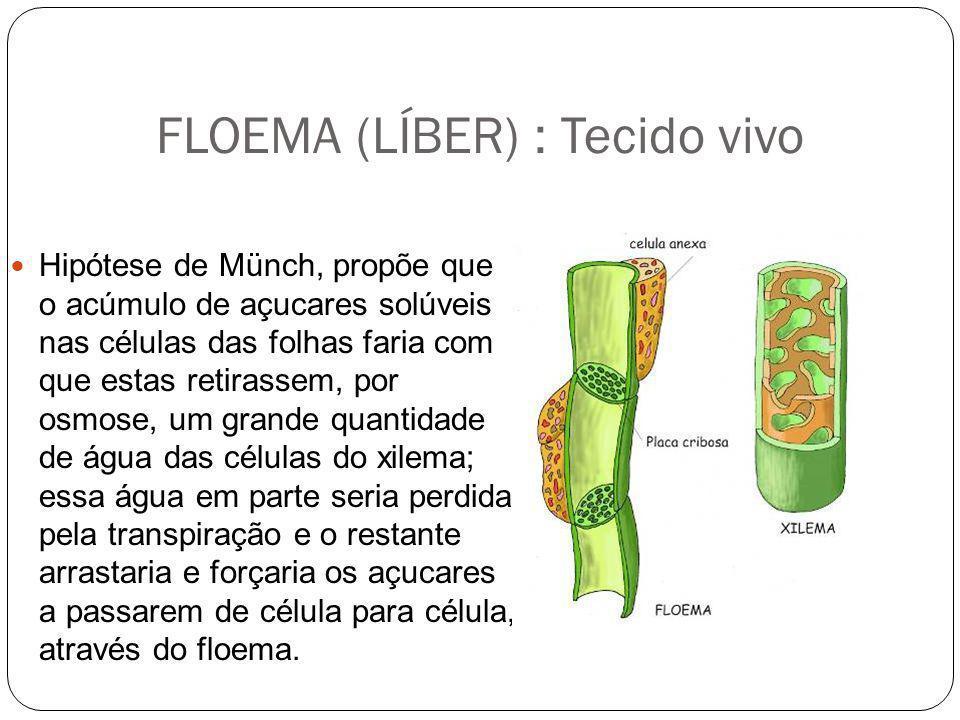 FLOEMA (LÍBER) : Tecido vivo Hipótese de Münch, propõe que o acúmulo de açucares solúveis nas células das folhas faria com que estas retirassem, por o