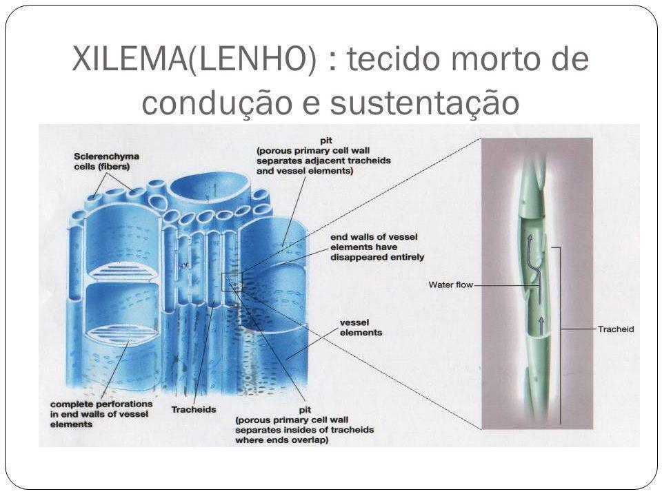 XILEMA(LENHO) : tecido morto de condução e sustentação