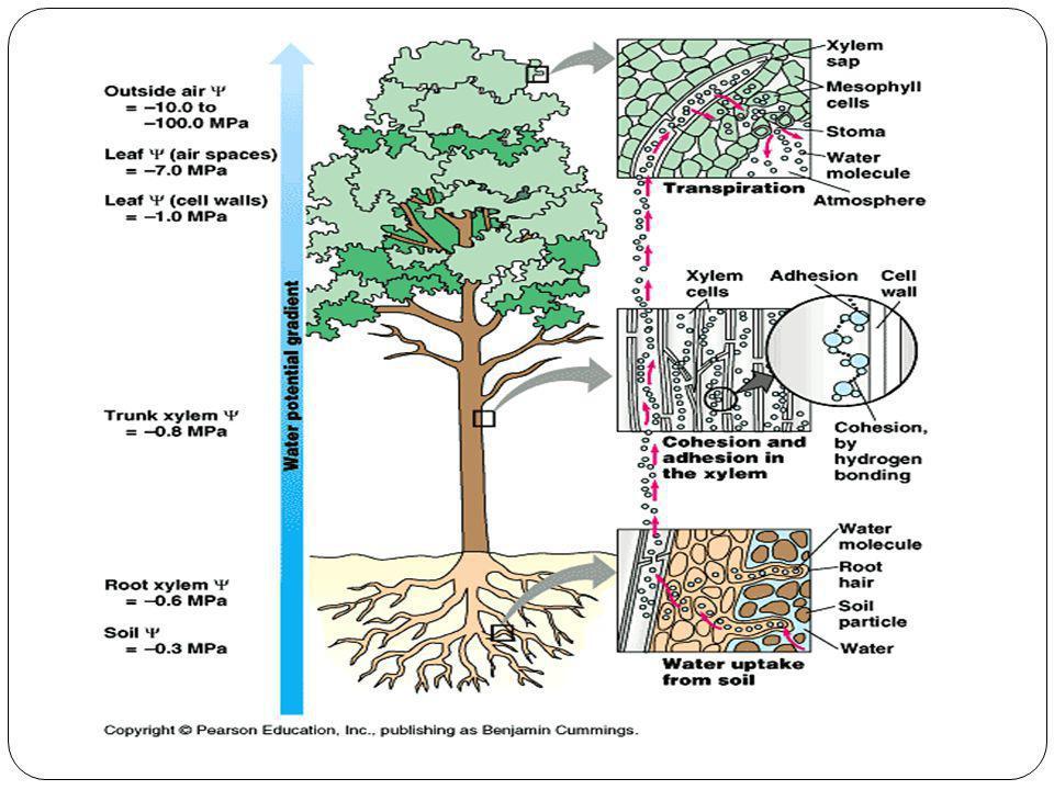 FLOEMA(LÍBER) : CONDUÇÃO DE SEIVA ELABORADA SEIVA ELABORADA: glicose (açúcar) SENTIDO DA CONDUÇAO: folhas demais partes da planta.