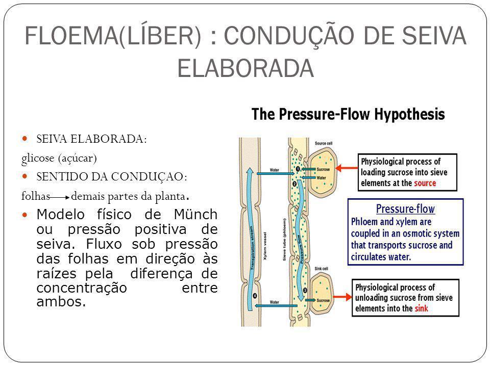 FLOEMA(LÍBER) : CONDUÇÃO DE SEIVA ELABORADA SEIVA ELABORADA: glicose (açúcar) SENTIDO DA CONDUÇAO: folhas demais partes da planta. Modelo físico de Mü