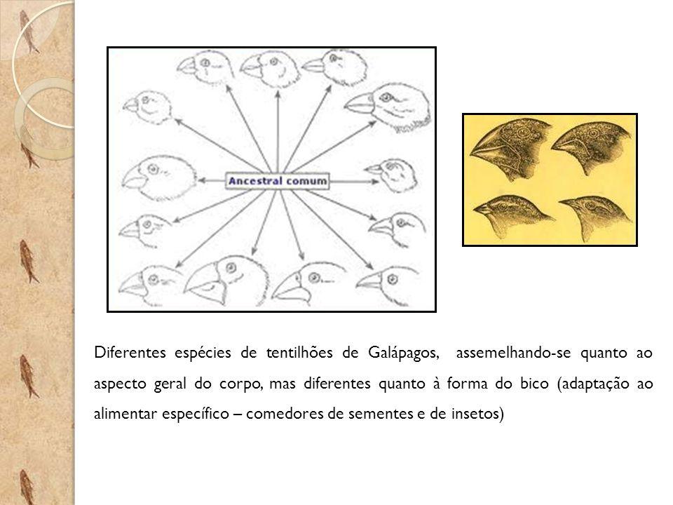 Diferentes espécies de tentilhões de Galápagos, assemelhando-se quanto ao aspecto geral do corpo, mas diferentes quanto à forma do bico (adaptação ao