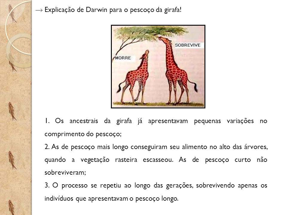 Explicação de Darwin para o pescoço da girafa! 1. Os ancestrais da girafa já apresentavam pequenas variações no comprimento do pescoço; 2. As de pesco