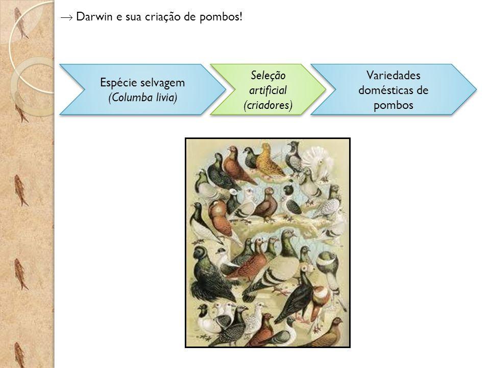 Darwin e sua criação de pombos! Espécie selvagem (Columba livia) Variedades domésticas de pombos Seleção artificial (criadores)
