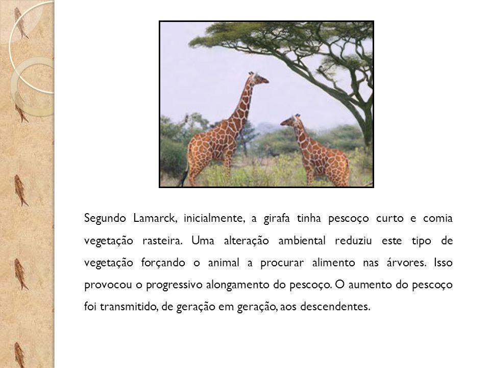 Segundo Lamarck, inicialmente, a girafa tinha pescoço curto e comia vegetação rasteira. Uma alteração ambiental reduziu este tipo de vegetação forçand