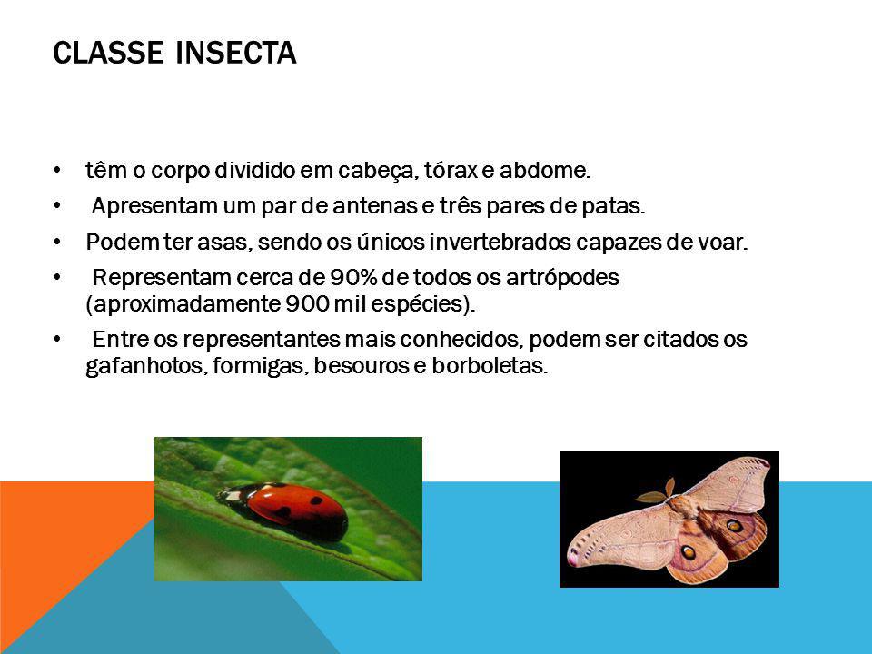 CLASSE INSECTA têm o corpo dividido em cabeça, tórax e abdome. Apresentam um par de antenas e três pares de patas. Podem ter asas, sendo os únicos inv