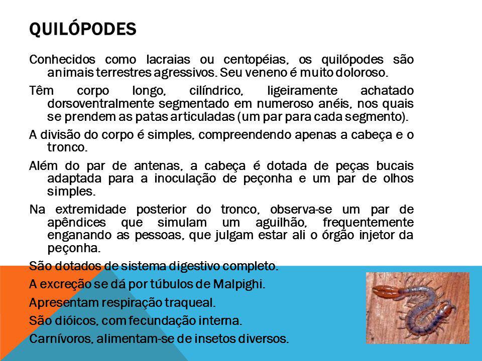 QUILÓPODES Conhecidos como lacraias ou centopéias, os quilópodes são animais terrestres agressivos. Seu veneno é muito doloroso. Têm corpo longo, cilí