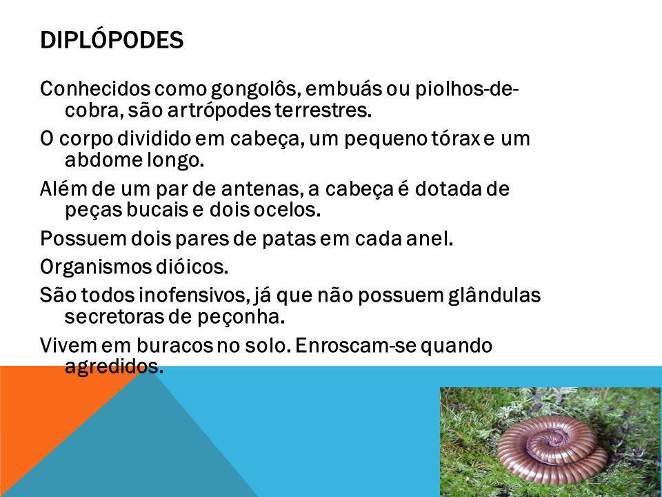 DIPLÓPODES Conhecidos como gongolôs, embuás ou piolhos-de- cobra, são artrópodes terrestres. O corpo dividido em cabeça, um pequeno tórax e um abdome