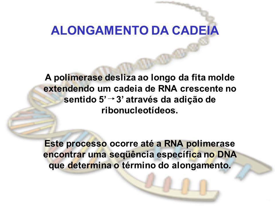 ALONGAMENTO DA CADEIA A polimerase desliza ao longo da fita molde extendendo um cadeia de RNA crescente no sentido 5 3 através da adição de ribonucleo