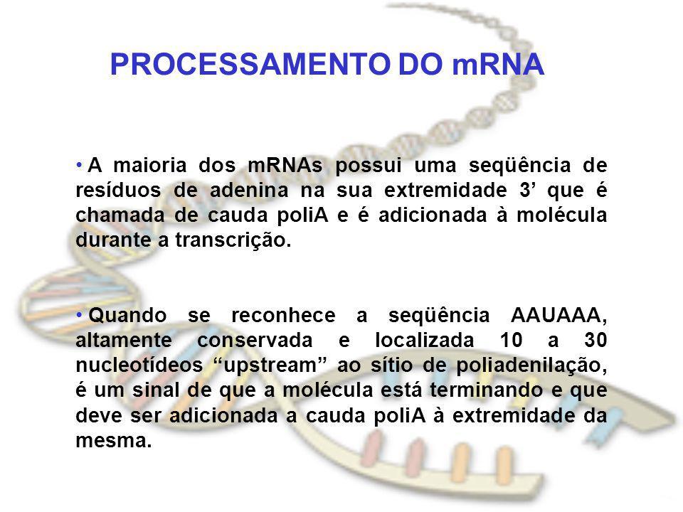 PROCESSAMENTO DO mRNA A maioria dos mRNAs possui uma seqüência de resíduos de adenina na sua extremidade 3 que é chamada de cauda poliA e é adicionada