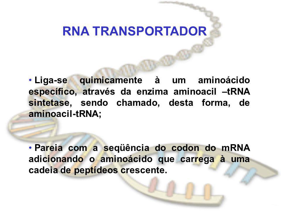 RNA TRANSPORTADOR Liga-se quimicamente à um aminoácido específico, através da enzima aminoacil –tRNA sintetase, sendo chamado, desta forma, de aminoac