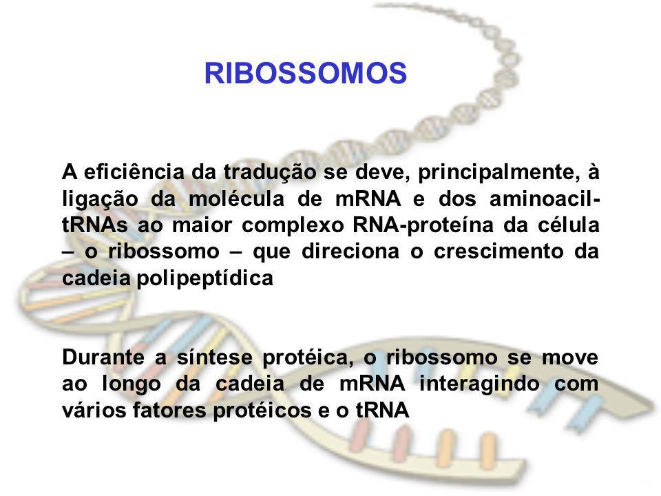 RIBOSSOMOS A eficiência da tradução se deve, principalmente, à ligação da molécula de mRNA e dos aminoacil- tRNAs ao maior complexo RNA-proteína da cé