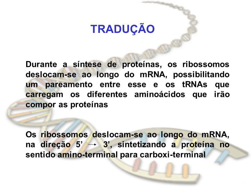 TRADUÇÃO Durante a síntese de proteínas, os ribossomos deslocam-se ao longo do mRNA, possibilitando um pareamento entre esse e os tRNAs que carregam o