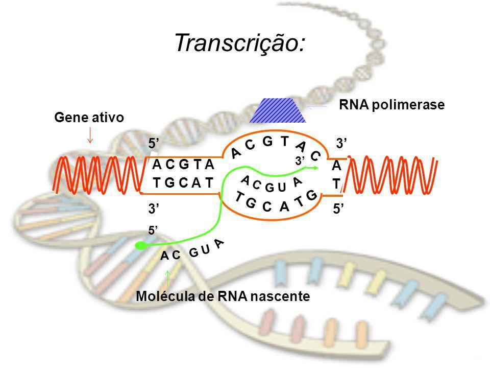 Transcrição: A C G T A T G C A T A C G T A C T G C A T G 53 ATAT 53 A C G U A A C G U A 5 3 RNA polimerase Molécula de RNA nascente Gene ativo