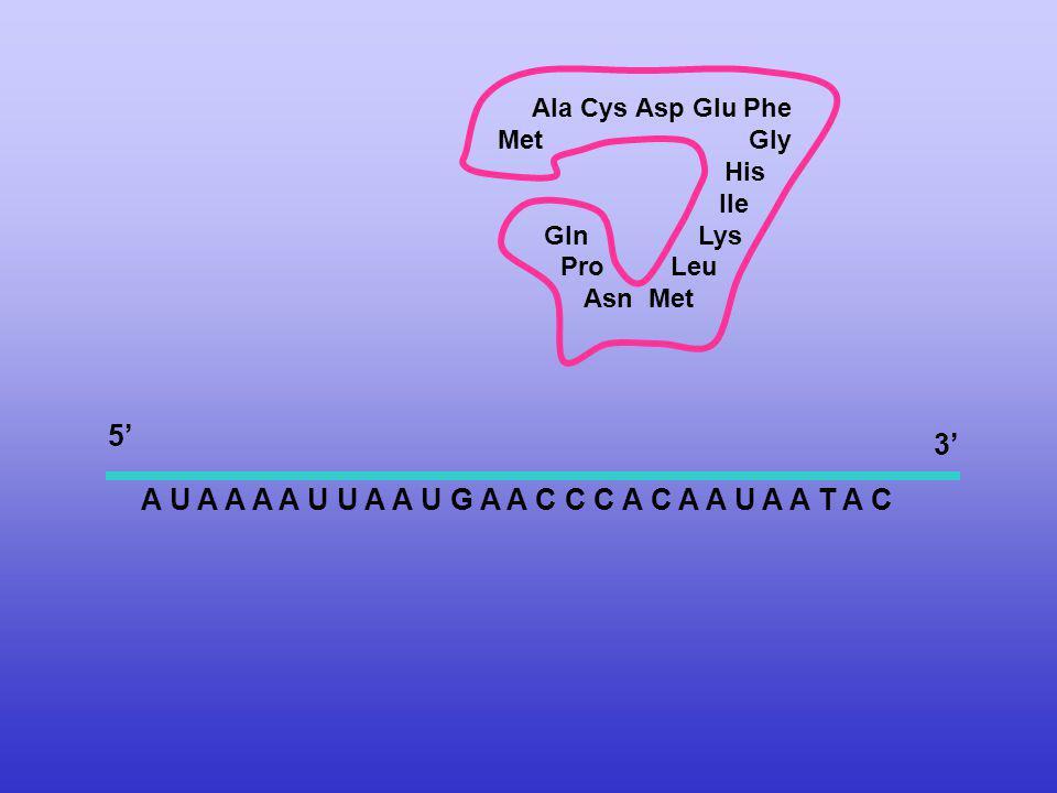 A U A A A A U U A A U G A A C C C A C A A U A A T A C Ala Cys Asp Glu Phe Met Gly His Ile Gln Lys Pro Leu Asn Met 5 3