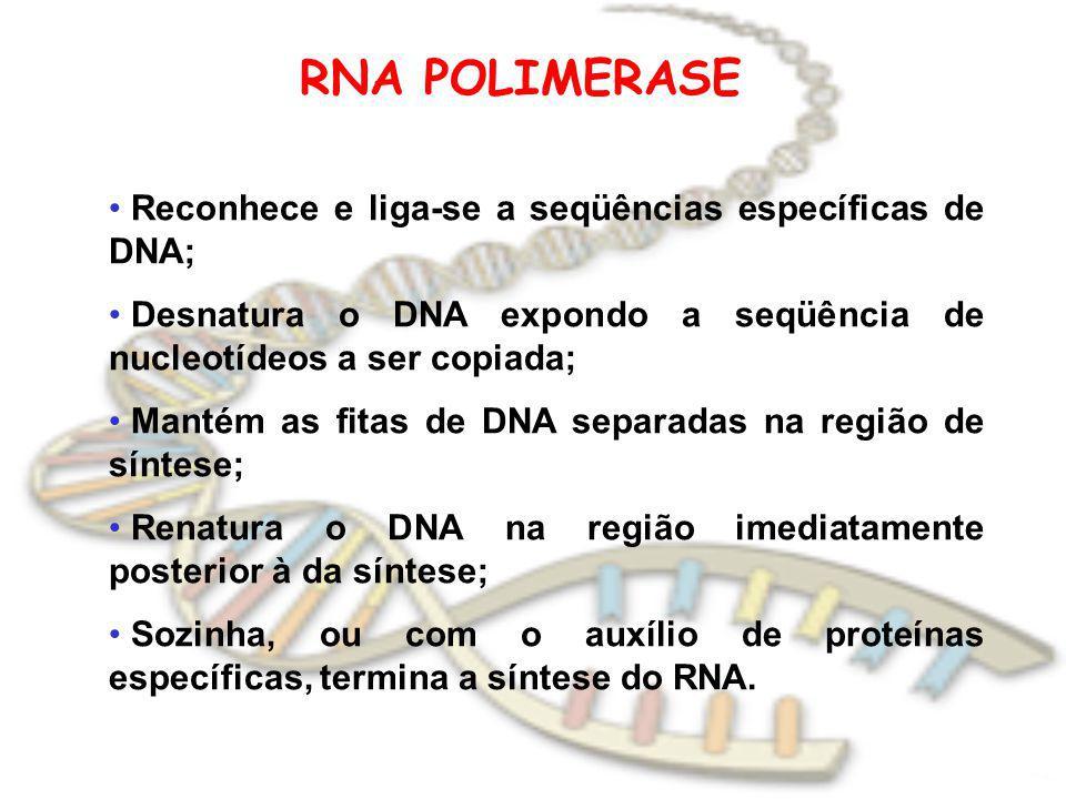 RNA POLIMERASE Reconhece e liga-se a seqüências específicas de DNA; Desnatura o DNA expondo a seqüência de nucleotídeos a ser copiada; Mantém as fitas