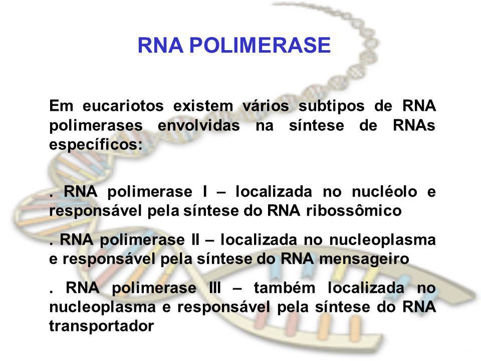 RNA POLIMERASE Em eucariotos existem vários subtipos de RNA polimerases envolvidas na síntese de RNAs específicos:. RNA polimerase I – localizada no n