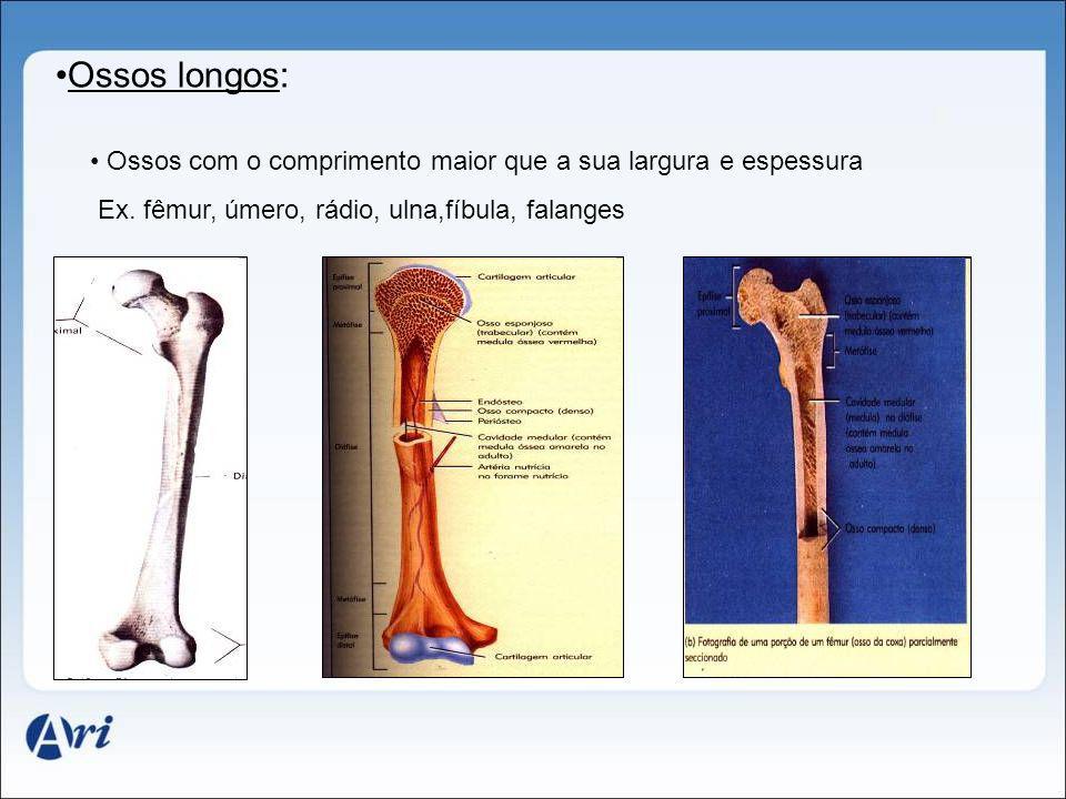 Ossos longos: Ossos com o comprimento maior que a sua largura e espessura Ex. fêmur, úmero, rádio, ulna,fíbula, falanges