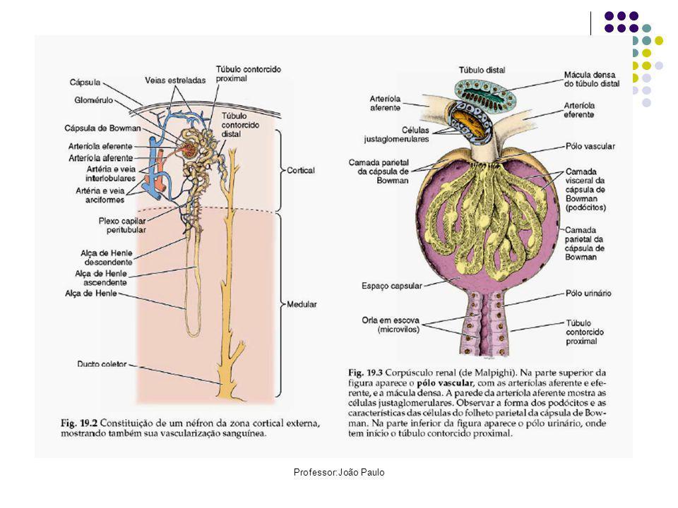 Rins Cada rim é formado de tecido conjuntivo, que sustenta e dá forma ao órgão, e por milhares ou milhões de unidades filtradoras, os néfrons, localizados na região renal.