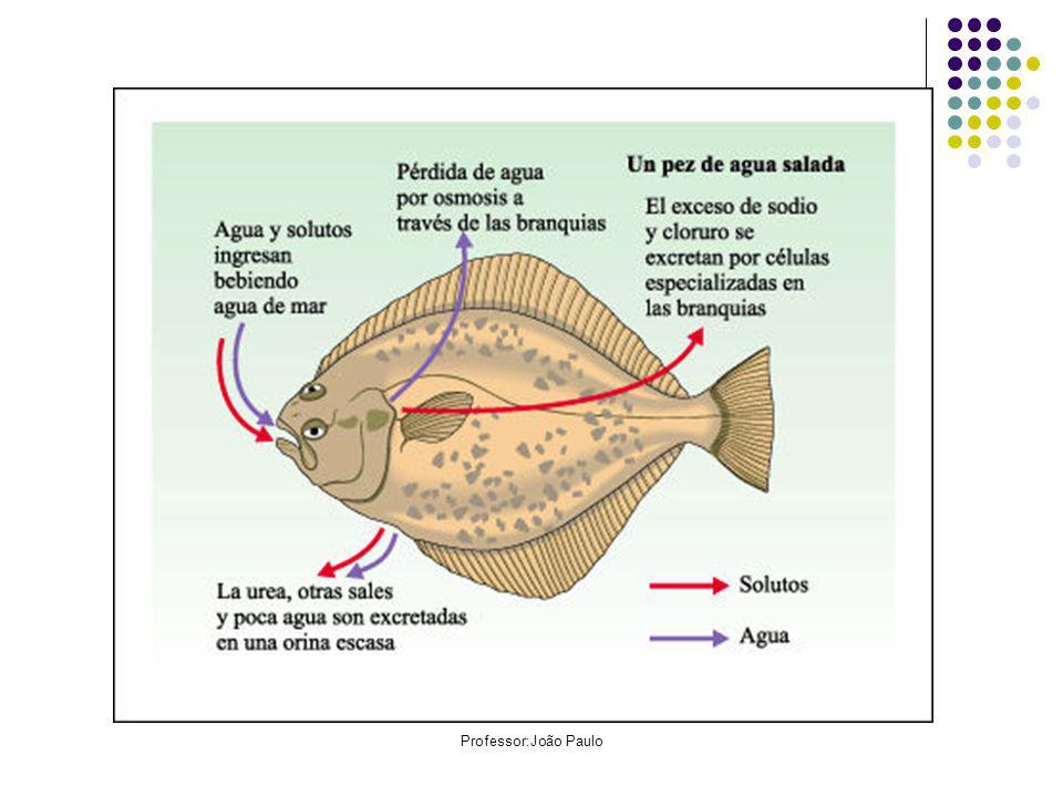 Tipos de rins: Pronefros: são segmentados e se situam na região anterior do corpo filtram excretas do celoma.