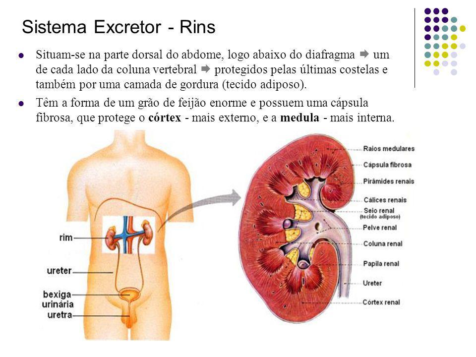 Professor:João Paulo Sistema Excretor - Rins Situam-se na parte dorsal do abdome, logo abaixo do diafragma um de cada lado da coluna vertebral protegidos pelas últimas costelas e também por uma camada de gordura (tecido adiposo).