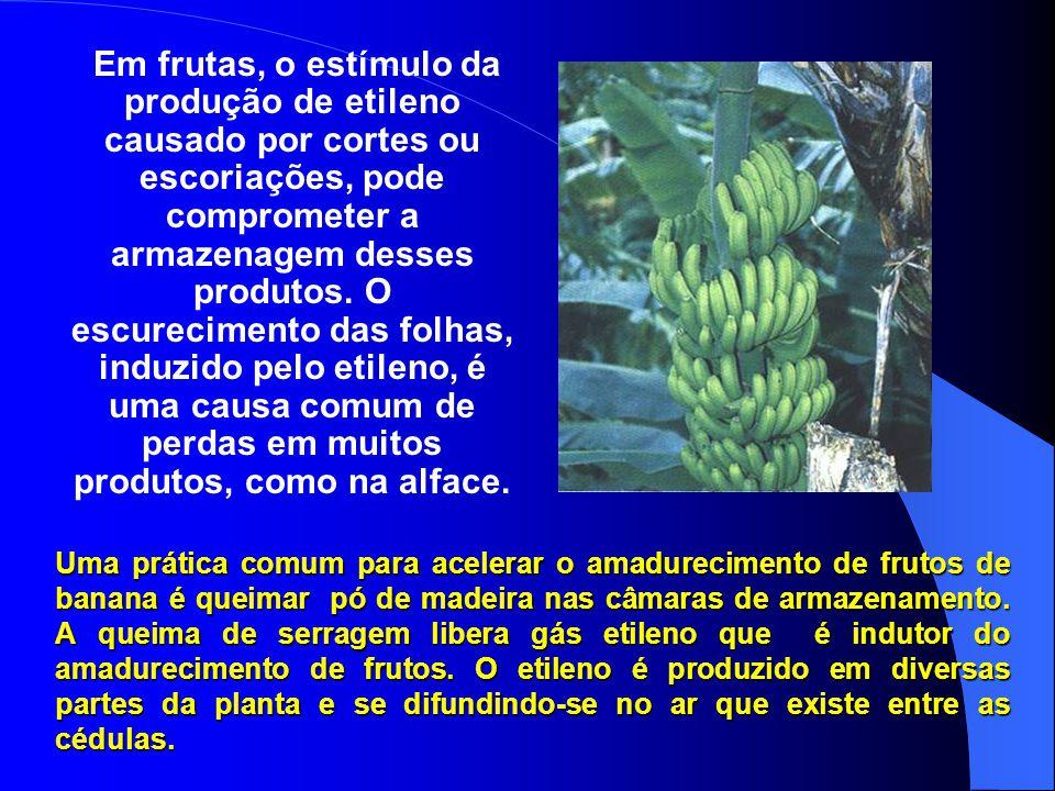 Etileno Estimula: Amadurecimento em frutas e verduras A queda (abscisão) das folhas O desbotar das flores O murchar das flores O amarelecer das folhas