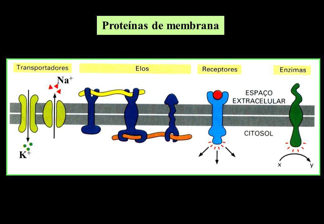 Proteínas de membrana K+K+ Na +