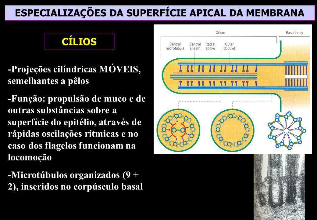 ESPECIALIZAÇÕES DA SUPERFÍCIE APICAL DA MEMBRANA CÍLIOS -Projeções cilíndricas MÓVEIS, semelhantes a pêlos -Função: propulsão de muco e de outras subs