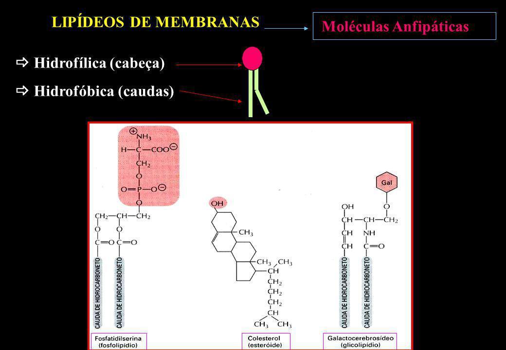 Hidrofílica (cabeça) Hidrofóbica (caudas) Moléculas Anfipáticas LIPÍDEOS DE MEMBRANAS