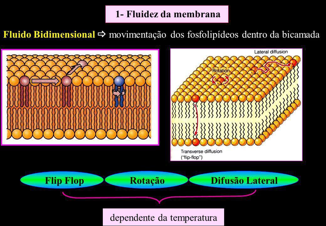 Flip FlopRotaçãoDifusão Lateral dependente da temperatura 1- Fluidez da membrana Fluido Bidimensional movimentação dos fosfolipídeos dentro da bicamad